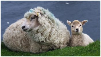 Shetland sheep and lam, lying at cliff's edge
