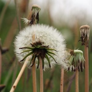 Dandelion in full seed