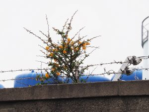 Gorse growing up through razor wire atop concrete wall