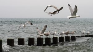 Gulls lifting off from breakwater