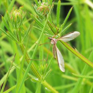 Long-legged flying insect against bright-green foliage