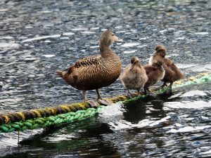 Female common eider with three chicks