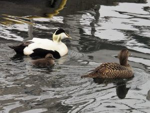 Common eiders: male, female, chick
