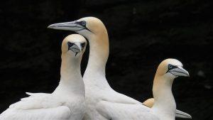 Gannets scowling.