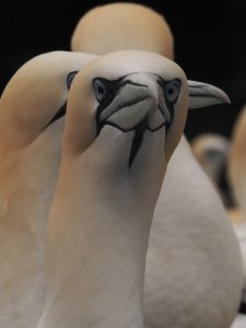 Gannet looking straight into camera.