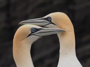 2 gannets; beak to beak