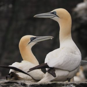 Two gannets; one on nest
