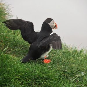 Puffin with wings flared