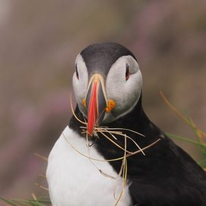 Puffin with nesting material in beak