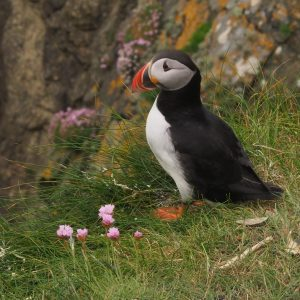 Puffin posing with pink flowers common in Shetlands