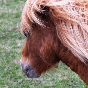 Close-up of Shetland pony