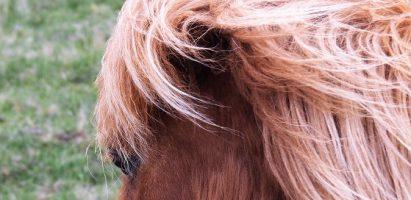 Shetland Ponies, Shetland