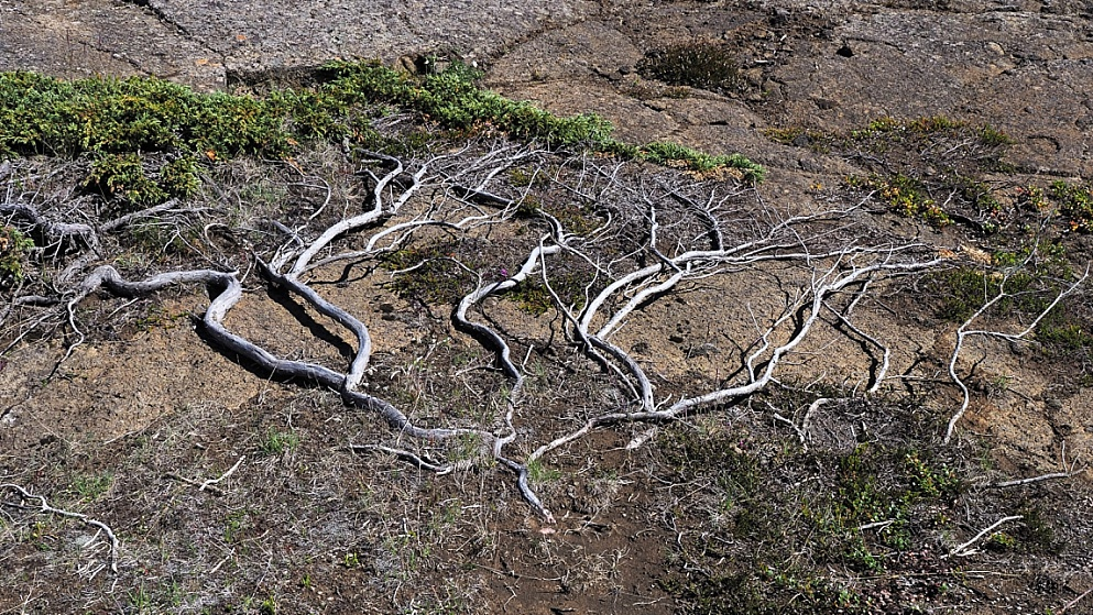 Ground-hugging tree in Iceland lava field
