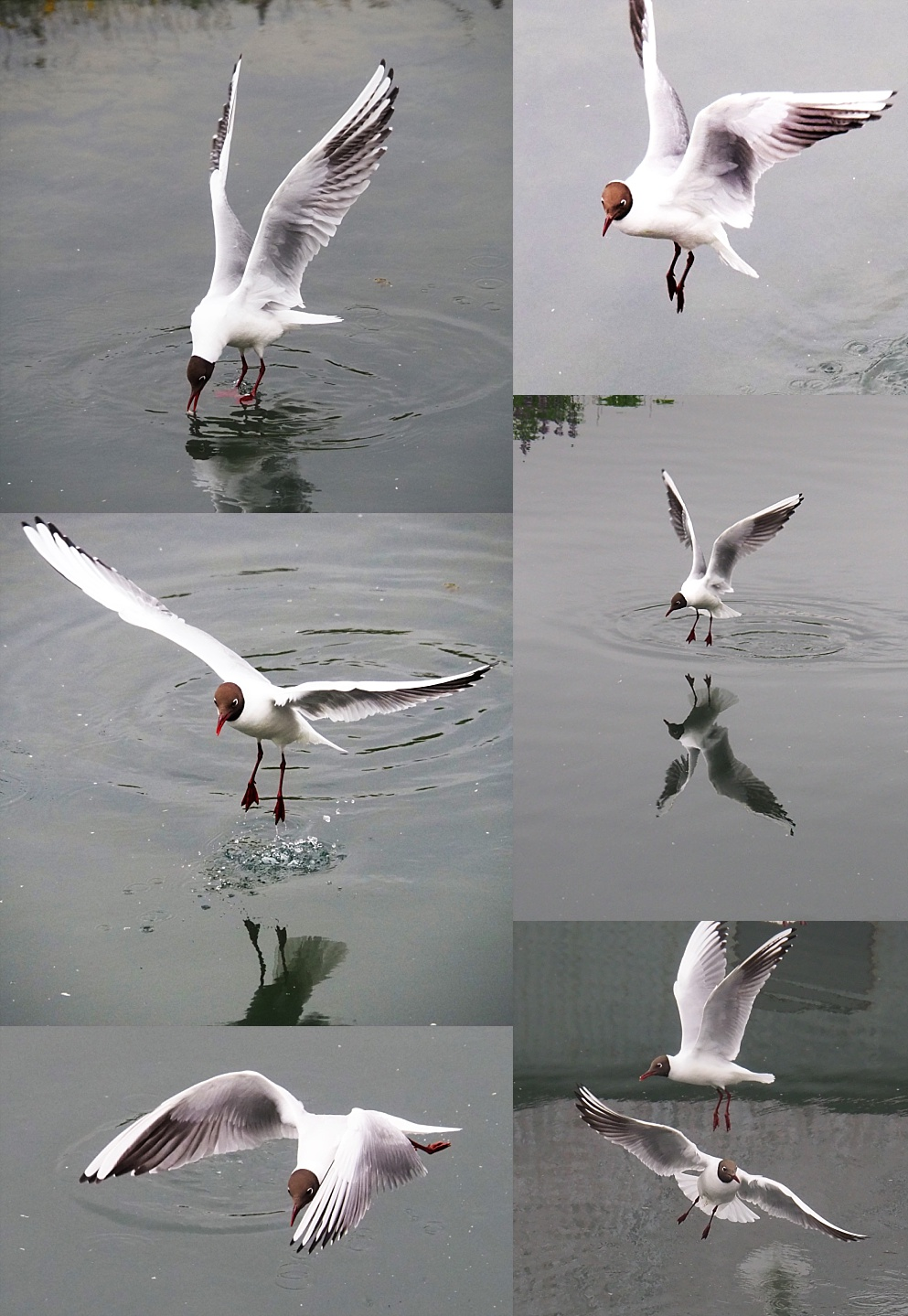 Collage of black-headed gulls in flight