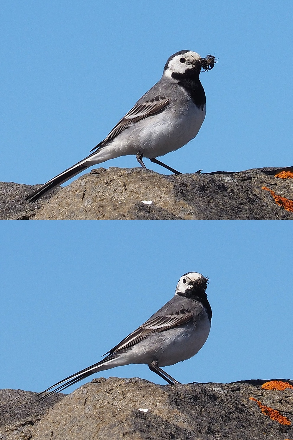 2 views of white wagtail with a beakful of something
