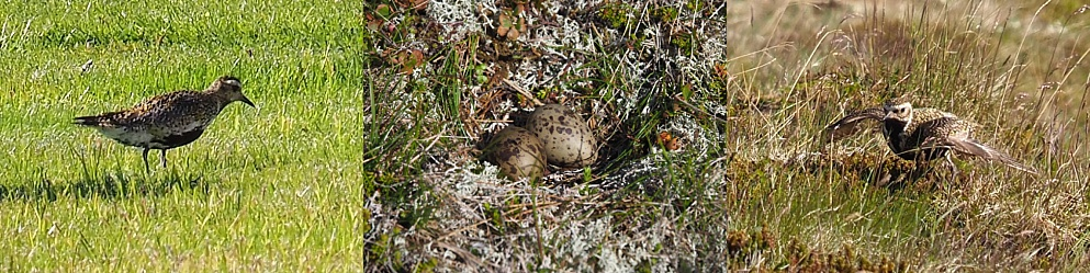 Fuzzy, long-distance shots of golden plovers and eggs in the nest