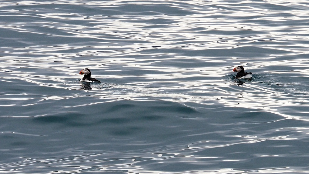 Two Atlantic puffins sighted on a whale-watching trip