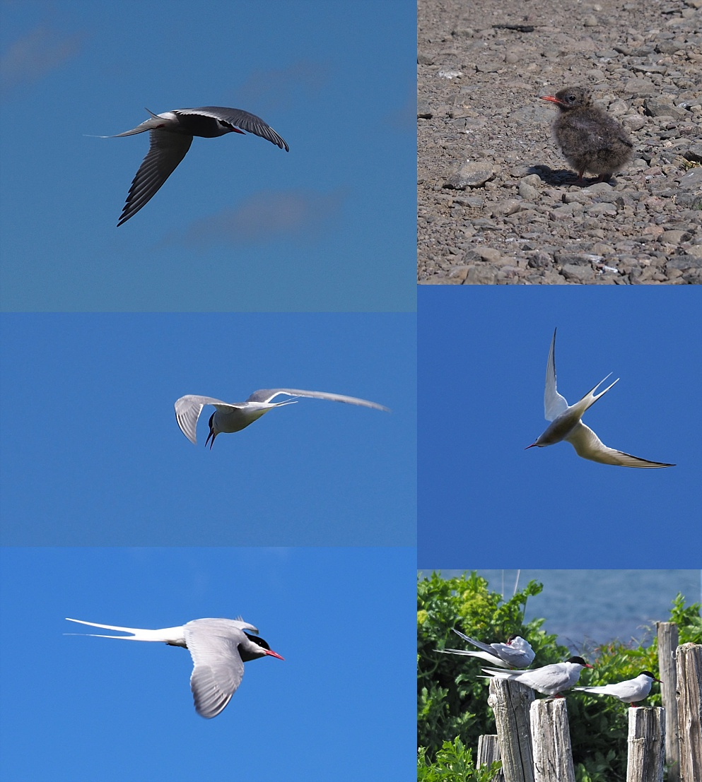 Collage of Arctic terns defending nesting area