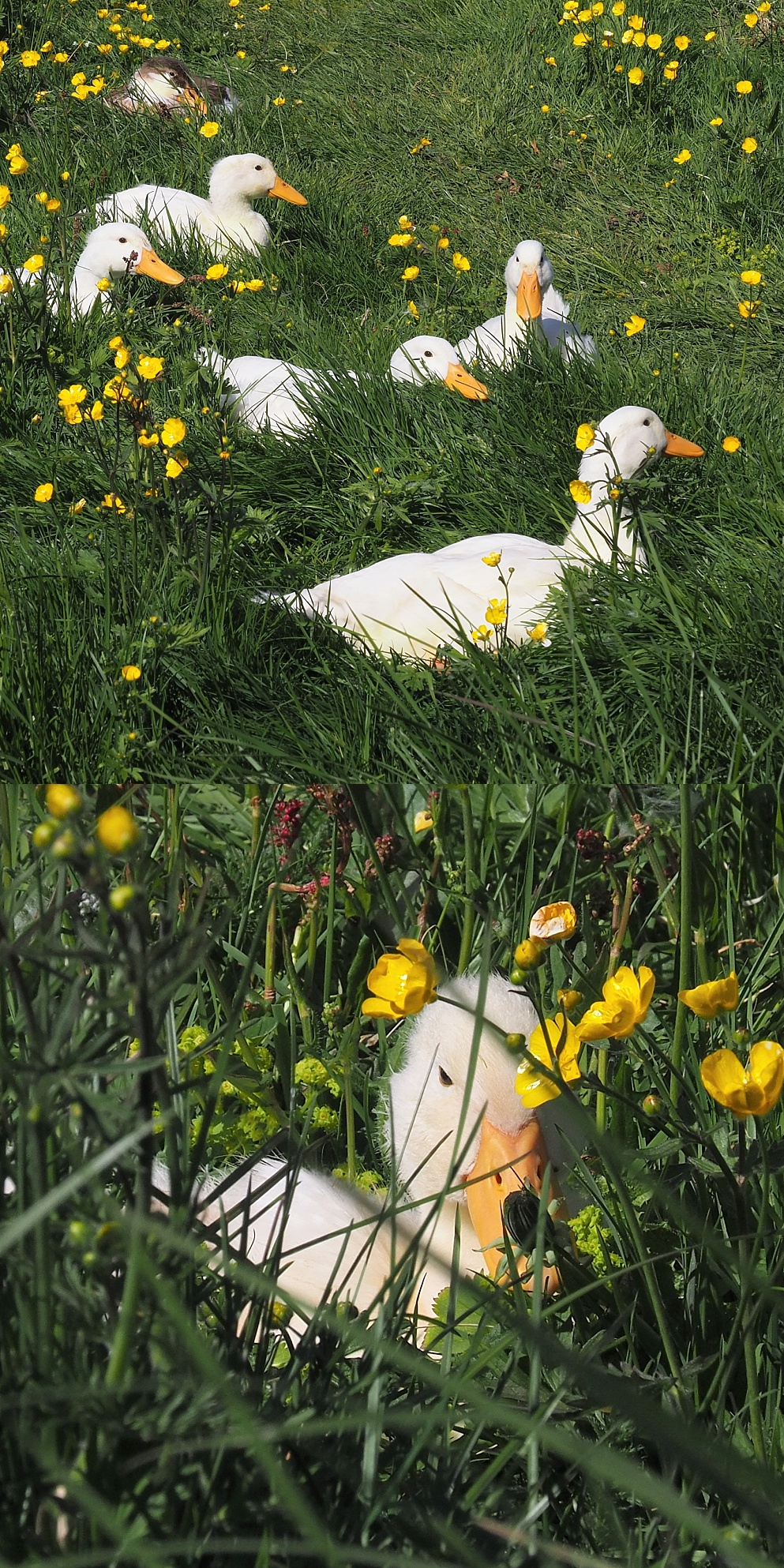 Collage of domestic geese, resting in grassy field