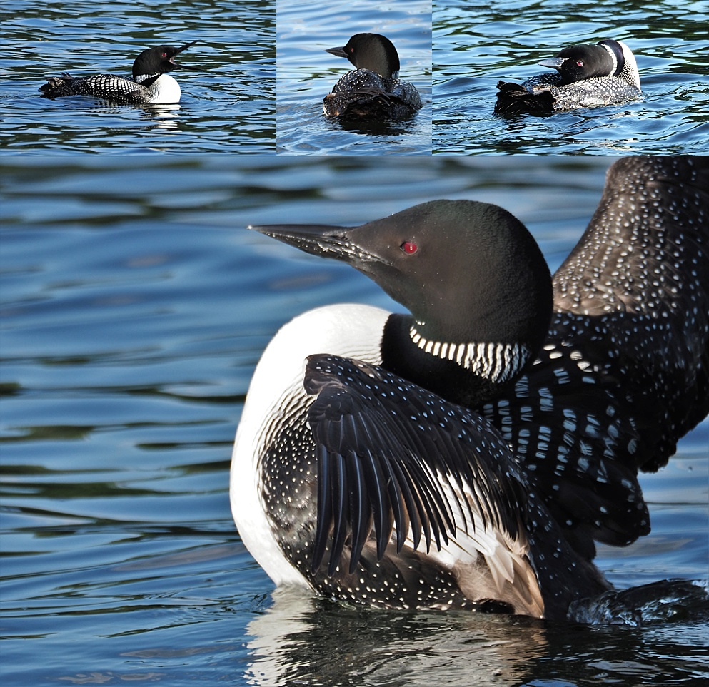 4 -photo collage of common loons in late-afternoon sunlight