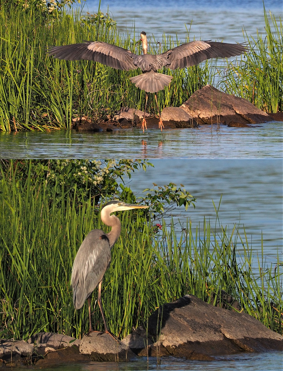2-photo collage of great blue heron in late-afternoon light