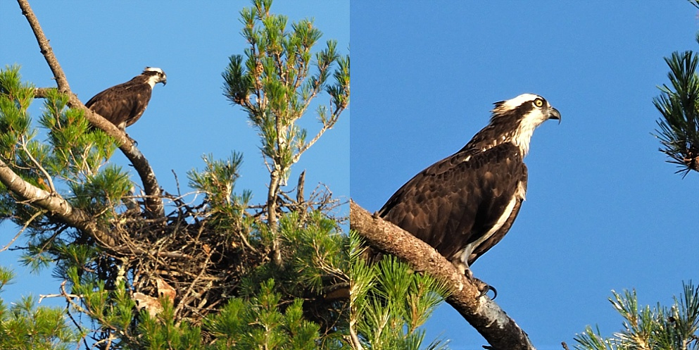 2-photo collage of adult osprey in tree-top nest