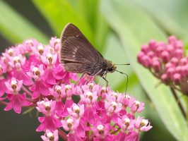 Close-up of brown butterfly on pink flowers.