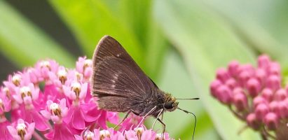 Butterflies, White Lake