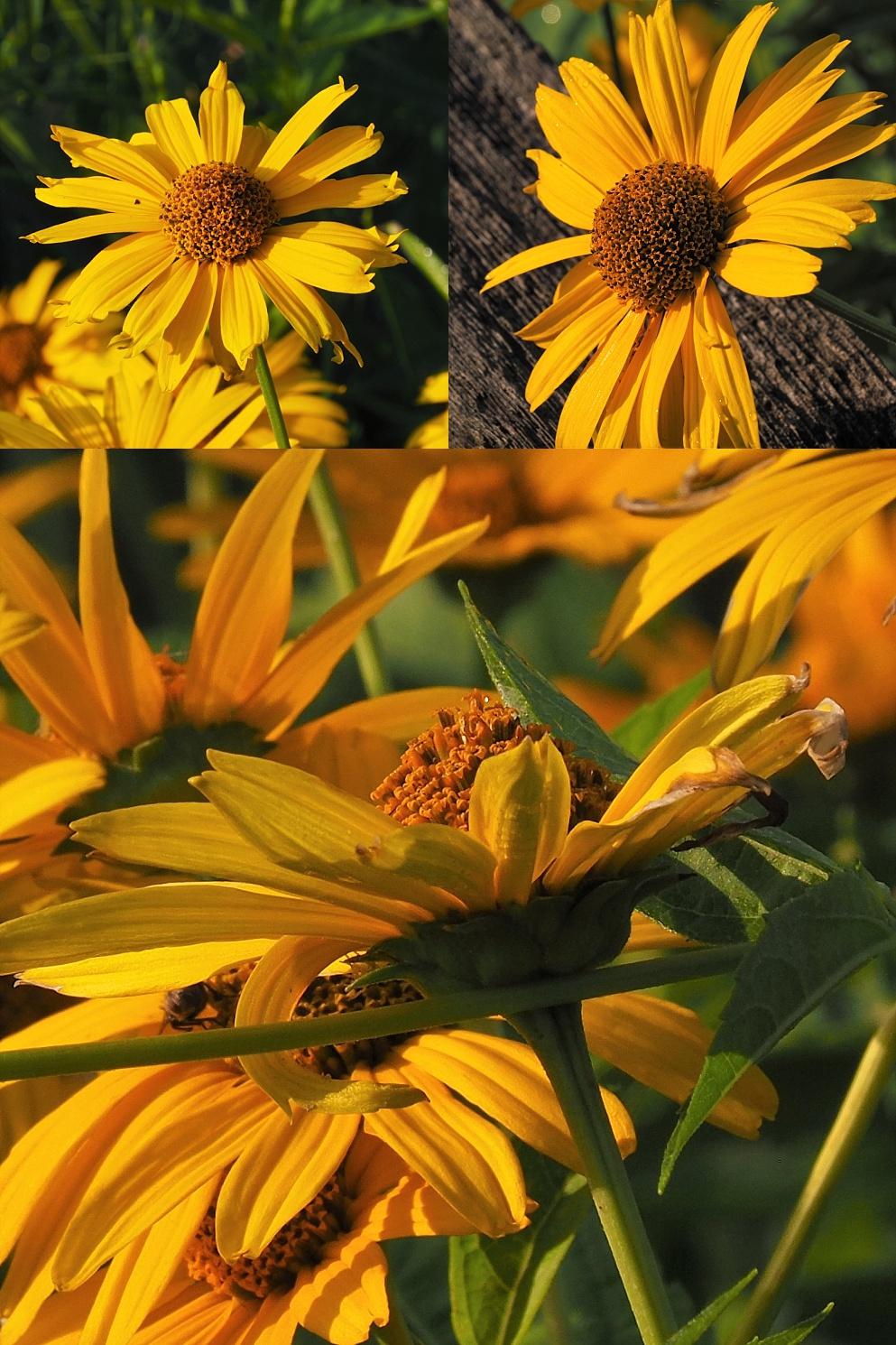 3-photo collage of black-eyed susans