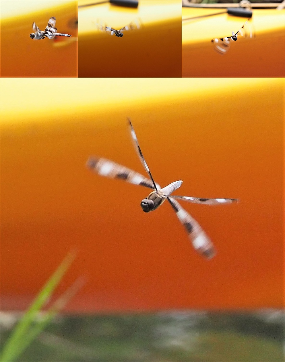 Collage of unidentified Odonata insect, in mid-air