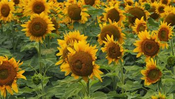 Close-up of field of sunflowers