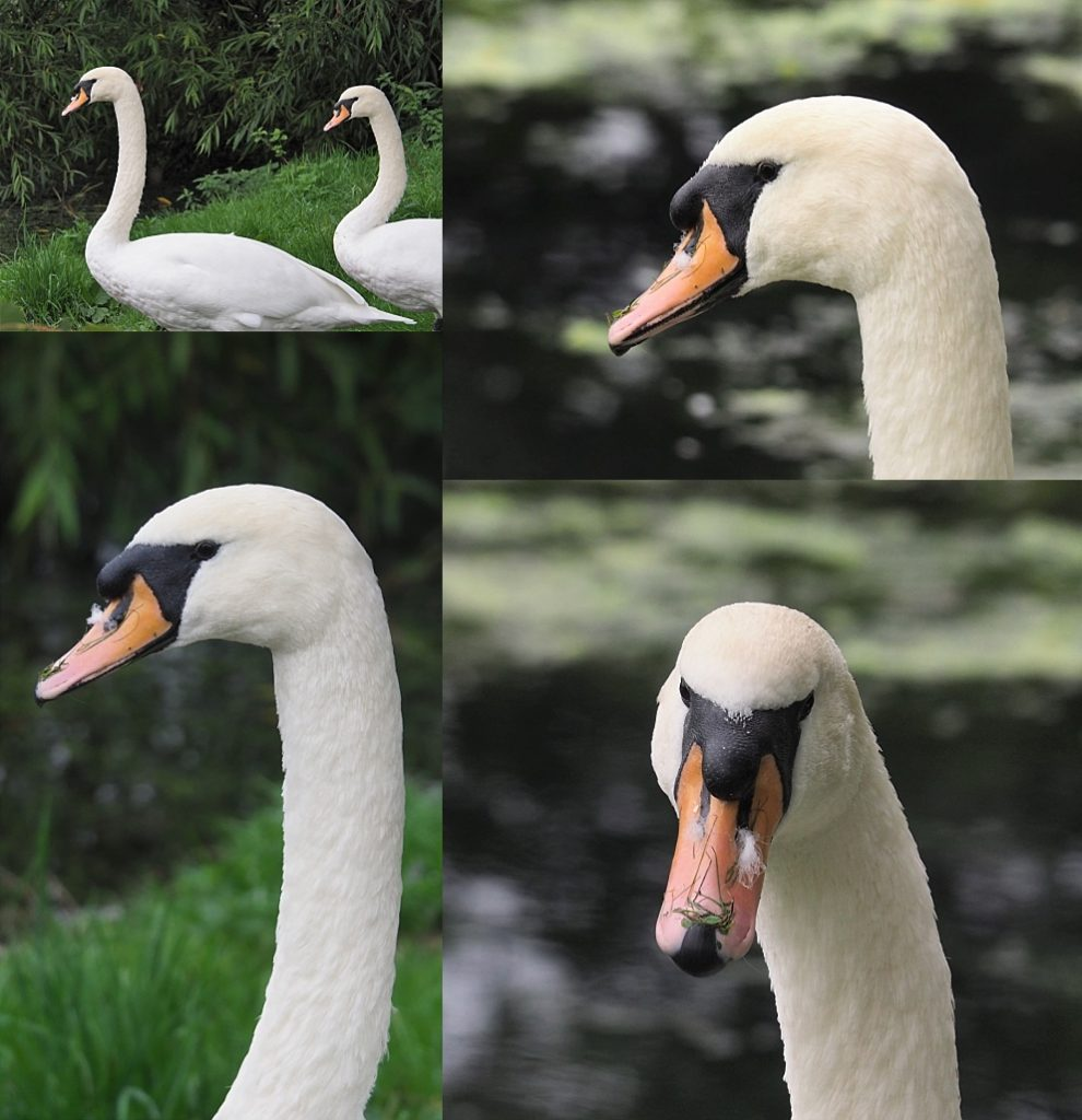 4-photo collage of mute swans in Dublin