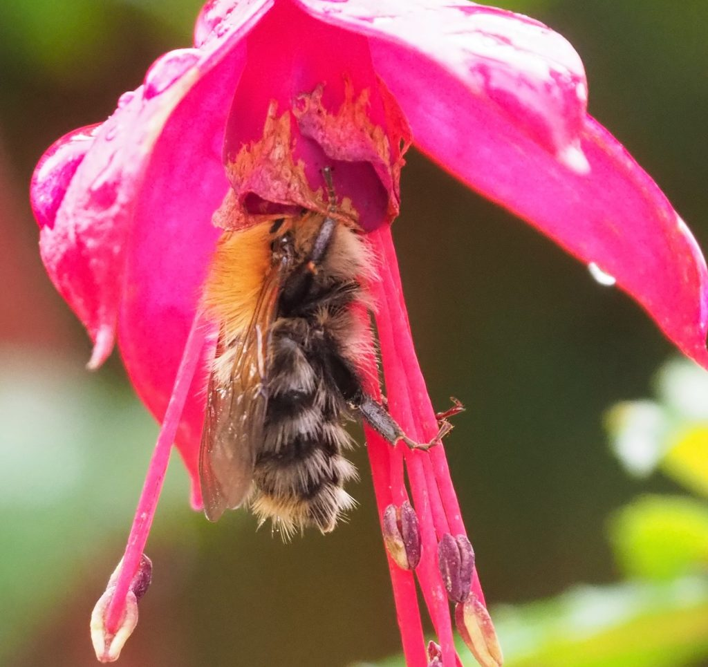 Honey bee with head stuck into pink fuchsia flower