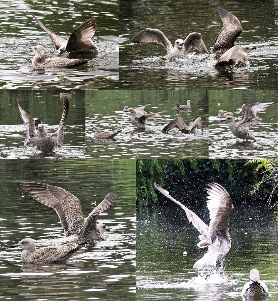 7-photo collage of gulls flaring their wings