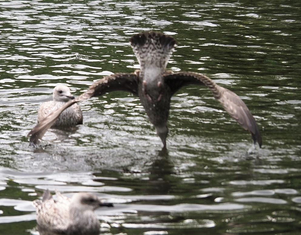 Fuzzy phot of gull diving beak first into a pond