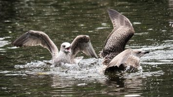 Two gulls beaking off in pond
