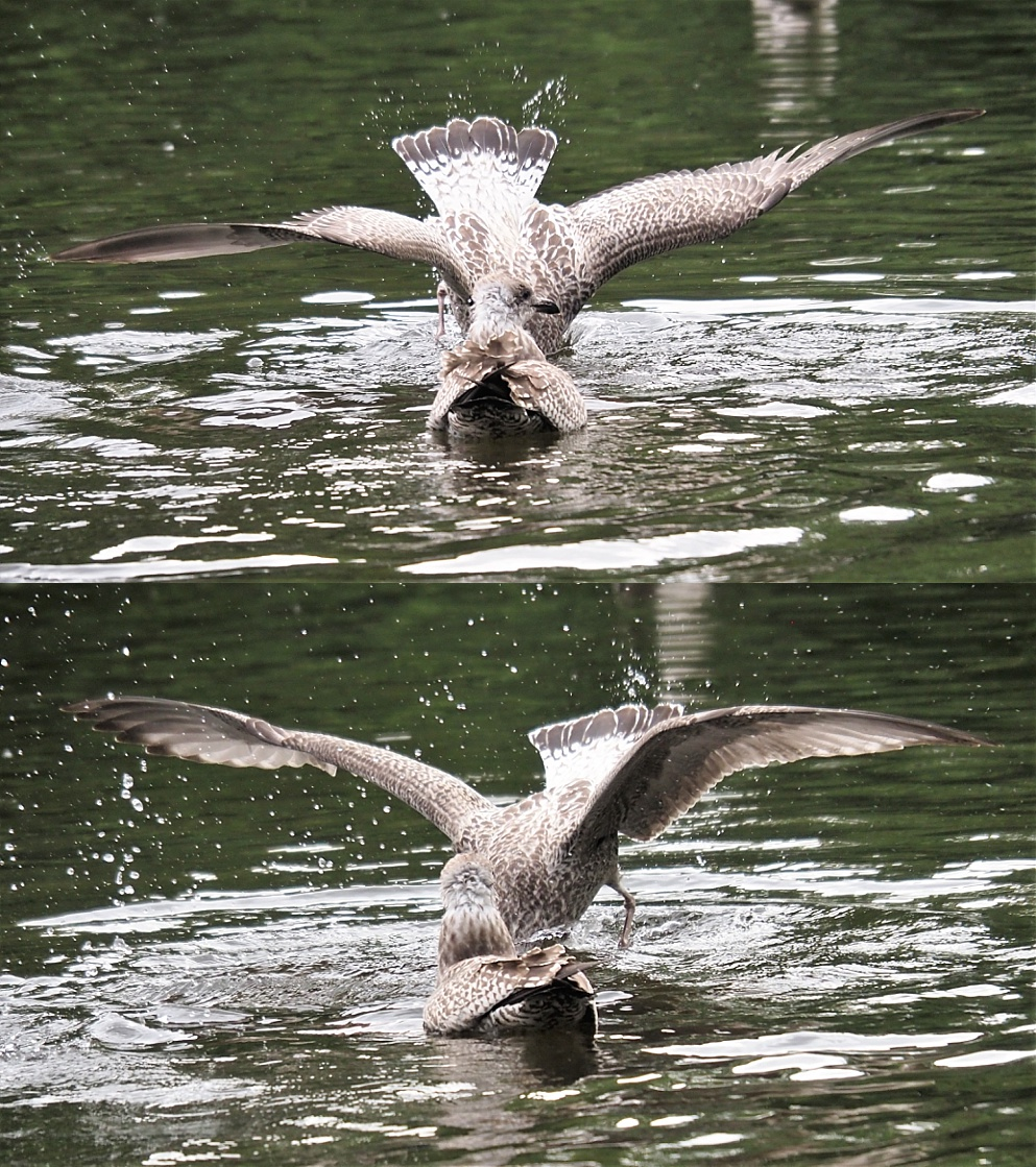Gulls diving headfirst into pond