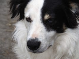 Close-up of border collie