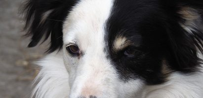 Follow-up: Border Collies