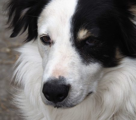 Border Collies & Their Charges, Ireland