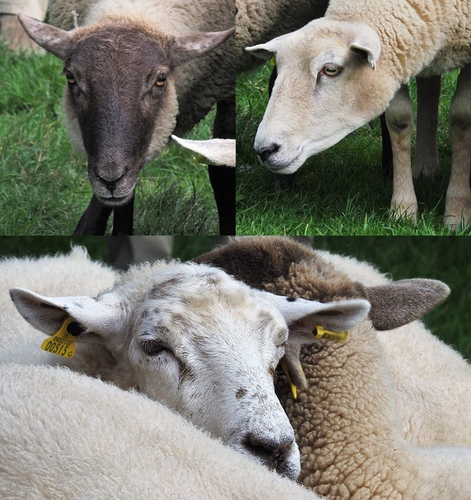 3-photo collage of sheep jammed together