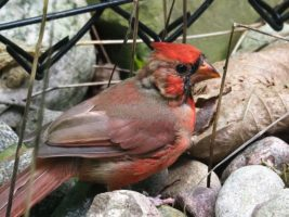 Male northern cardinal on rocky path