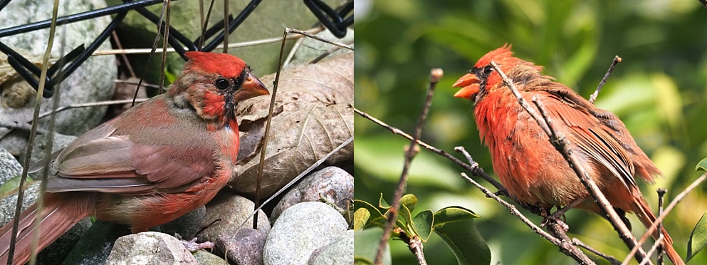 2-photo collage of male northern cardinals