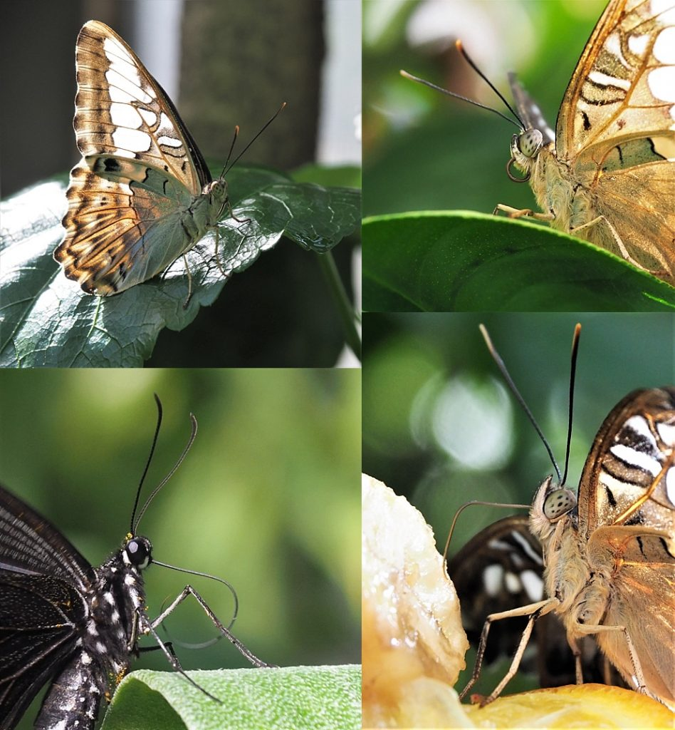 4-photo collage of side view of butterflies