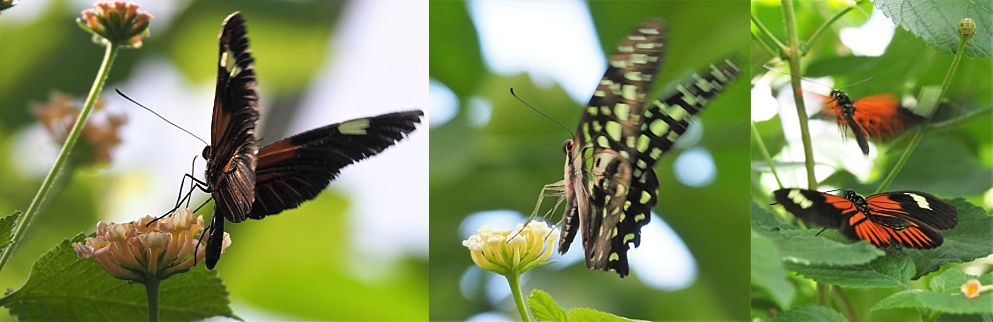 3-photo collage of butterflies with implied and actual motion.