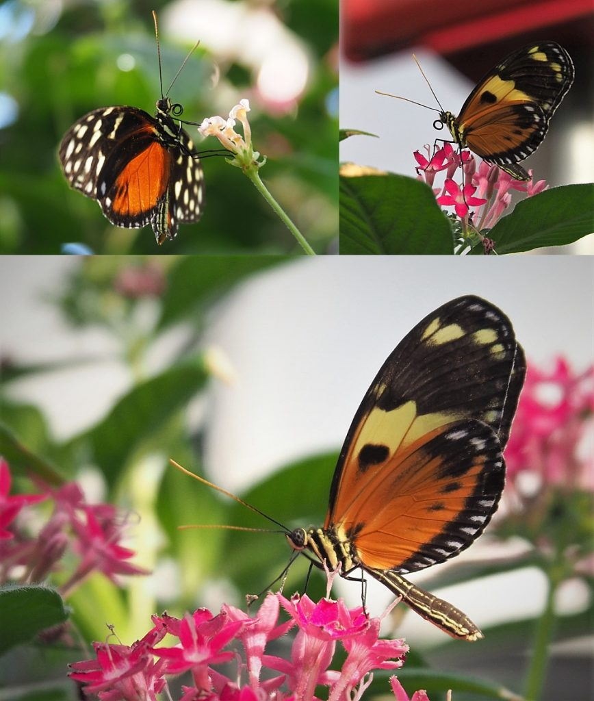 3-photo collage of orange & black butterflies