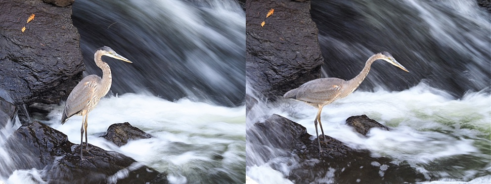 2-photo collage with great blue heron and time lapse of falling water