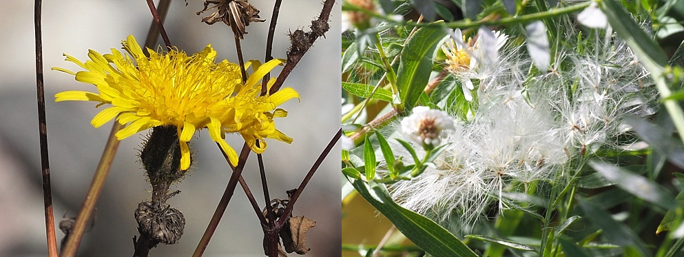 2-photo collage of weeds flowering and in seed in mid-October