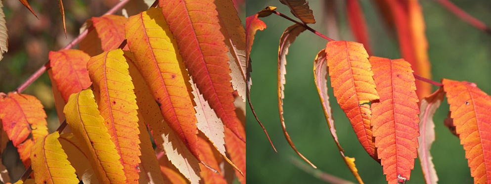 2-photo collage of sumac leaves in fall colours
