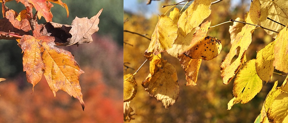 2-photo collage of autumn leaves with similar leaves in background